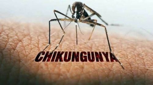 Selain Demam Berdarah, Gigitan Aedes Aygpty bisa Menularkan Penyakit Chikungunya