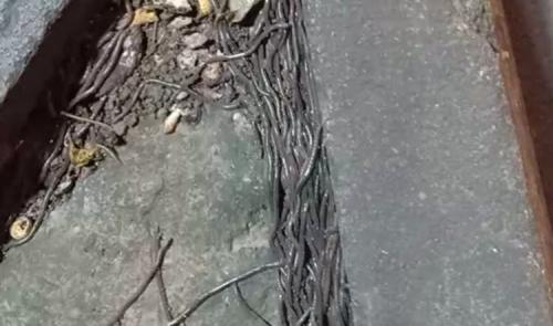 Ribuan Cacing Bermunculan di Solo, BMKG: Belum Tentu Pertanda Gempa Besar