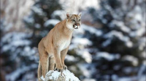 Heroik, Seorang Ibu Selamatkan Anaknya dari Mulut Singa Gunung