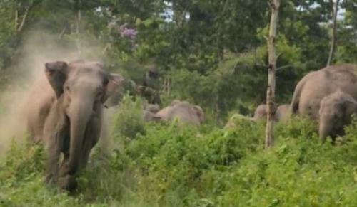 Musim Hujan, Belasan Gajah Liar Keluar dari Hutan di Tapung Kampar
