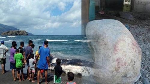 Muntahan Ikan Paus yang Ditemukan Nelayan Lamalera Terjual Rp650 Juta