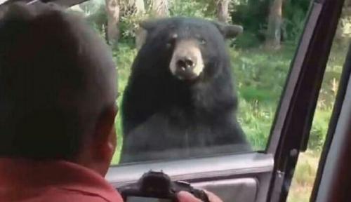 Lupa Kunci Pintu Mobil, Satu Keluarga Nyaris Disantap Beruang
