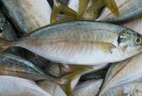 Kandungan Gizi Ikan Kembung Ternyata Lebih Tinggi Dibanding Salmon