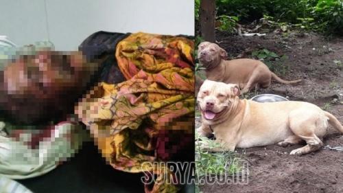 Pria di Kediri Tewas Setelah Diserang 2 Anjing Pitbull Milik Tetangganya