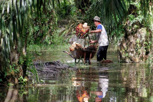 Periode 22-28 Januari, Harga TBS Kelapa Sawit di Riau Pekan Ini Rp2.101,96 per Kg