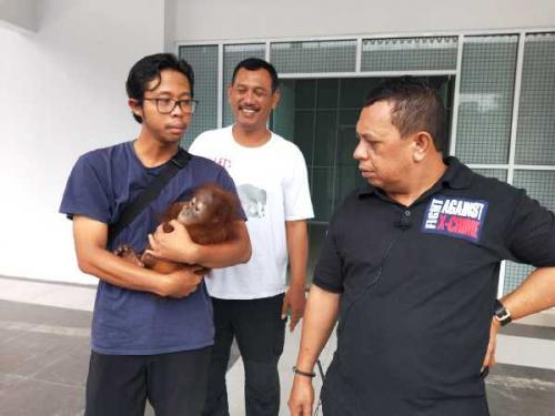 Gakkum KLHK Selamatkan Satu Ekor Orang Utan di Pekanbaru saat akan Dikirim ke Sumbar Pakai Bus Cargo