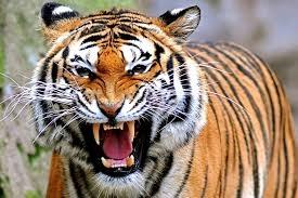 Populasi Harimau Sumatera Ditaksir Tinggal 400 Ekor, Dirjen KSDAE KLHK: Mereka Top Predaktor