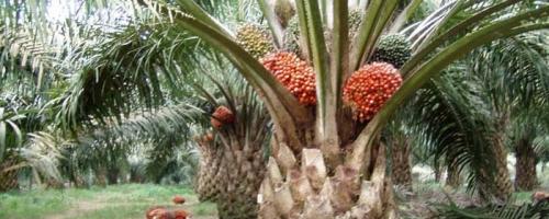 Waduh, Gawat... Eropa dan AS Berusaha Singkirkan Produk Sawit Indonesia