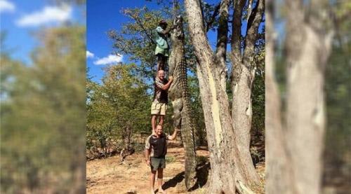 Buaya Sepanjang 3 Kali Orang Dewasa Digantung di Pohon, Ini Penampakannya