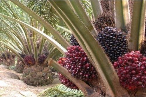 KPK Mulai Telusuri Perizinan Perkebunan Kelapa Sawit di Riau