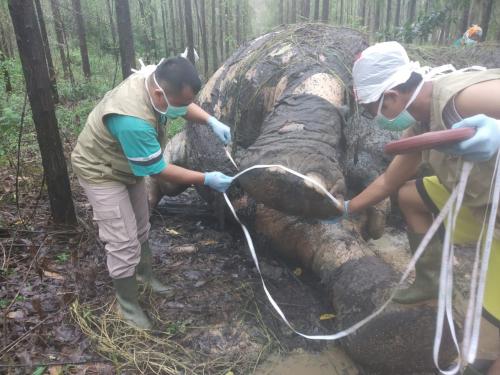Tanpa Kepala dan Gading, Bangkai Gajah yang Ditemukan di Areal Konsensi Dipastikan Mati karena Dibunuh