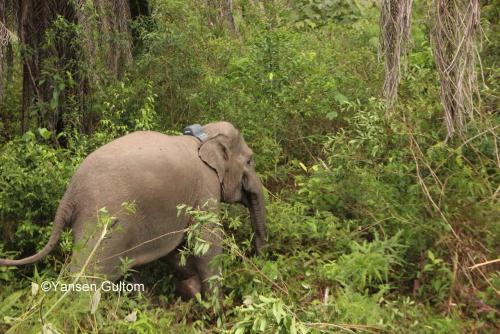 Minimalisir Konflik Satwa Liar dan Manusia, BBKSDA Riau Pasang GPS Collar ke Gajah