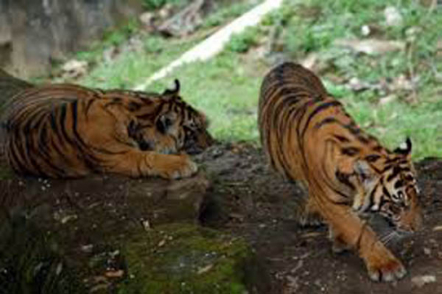 Ada Kebakaran Lahan, Dua Ekor Harimau Sumatera di Kempas Inhil Keluar dari Sarangnya