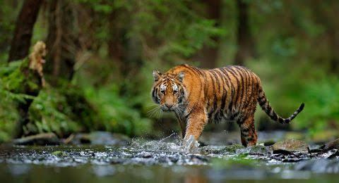 Harimau Sumatera Kembali Terkam Petani Kopi, Jasad Korban Ditemukan Berserakan