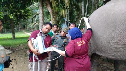 Ngatini Mengandung, Kabar Bahagia Ini Adalah Kehamilan Gajah Pertama di TWA Buluh Cina