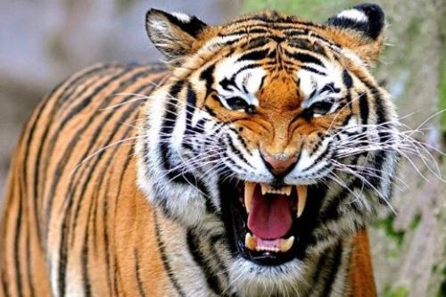 Lagi, Karyawan di Inhil Tewas Diterkam Harimau