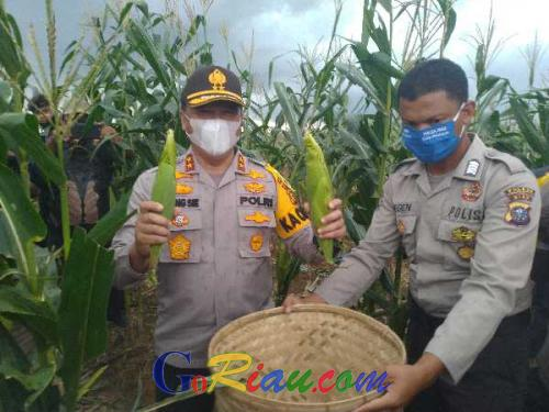 Dibawah Guyuran Hujan, Kapolda dan Gubernur Riau Antusias Memetik Jagung Panen Raya Perdana Hasil Program Jaga Kampung Polri
