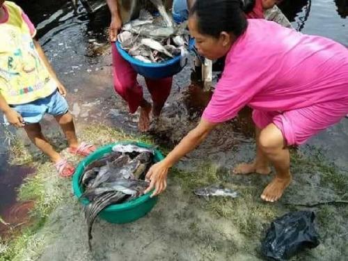 Puluhan Ribu Ikan Mati di Sungai Kampar, Begini Respon DLH Pelalawan