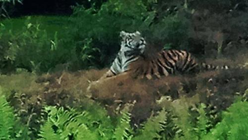 Lima Ekor Harimau Sumatera Berkeliaran di Kebun Sawit Perusahaan di Pelalawan Riau