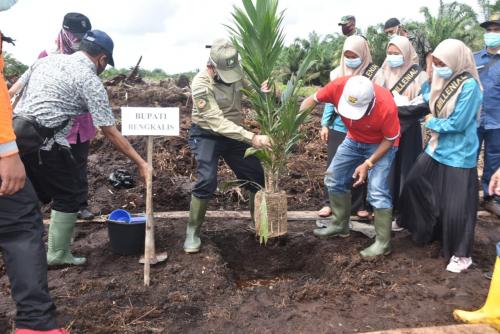 Gubri dan Plh Bupati Bengkalis Tanam Bibit Sawit Perdana Program PSR