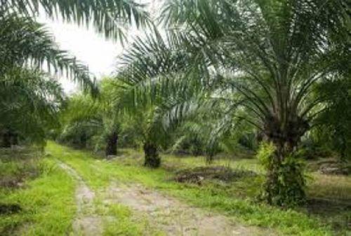 Sertifikasi ISPO untuk Petani Swadaya di Riau Dimulai