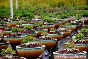 Begini Caranya agar Bonsai Adenium Rajin Berbunga