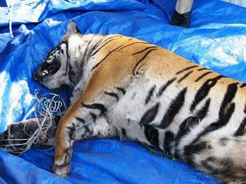 Harimau Sumatera Ditemukan Mati Lemas di Kuansing dengan Kondisi Tergantung di Lereng