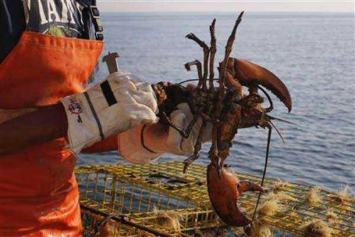 Manisnya Uang Penyelundupan Benih Lobster, Empat Kali Tertangkap di Riau Pelaku tak Pernah Jera