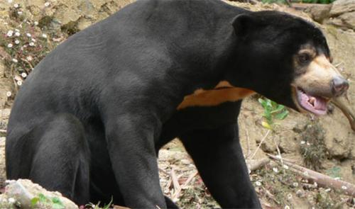 BBKSDA Riau Berhasil Evakuasi Anak Beruang Madu yang Terjerat Nilon