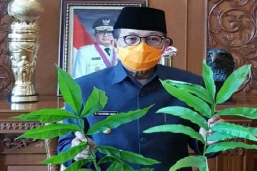 Daun Sungkai Disebut Berkhasiat Obati Covid-19, Gubernur Jambi Langsung Perintahkan Lakukan Penelitian