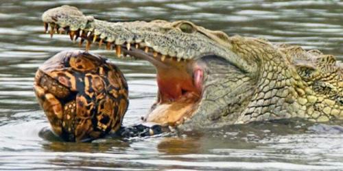 Ini Penampakan Buaya Berusaha Telan Kura-kura