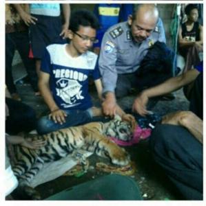 Anak Harimau Sumatera yang Ditemukan di Desa Apiapi Bukitbatu Bengkalis Akhirnya Tewas