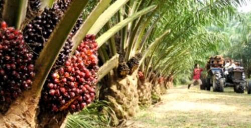 Minggu Terakhir Juli, Penetapan Harga TBS Sawit di Riau Naik Tipis
