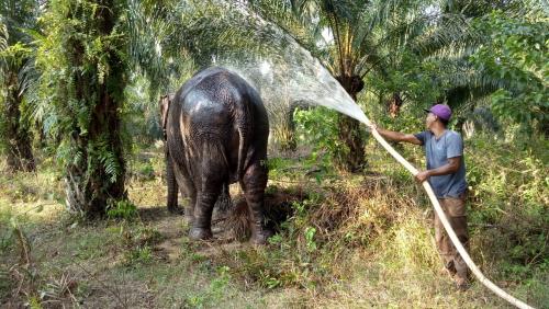 Hanya Sisa 1 Ekor, BBKSDA Riau Evakuasi Gajah Betina di Desa Melayu
