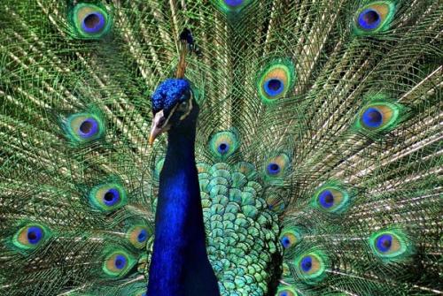 Meski Jarang Hidup di Riau, BBKSDA Riau Relokasi 7 Burung Merak, Ternyata Ini Sumbernya..