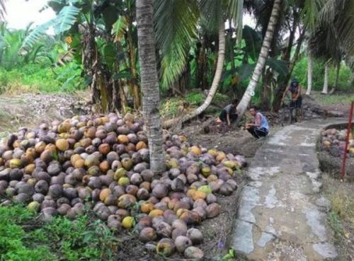 Kebun Kelapa Banyak yang Rusak dan Bantuan Pemprov Riau Minim, Masyarakat 3 Desa di Inhil Ini Ancam Pindah ke Jambi