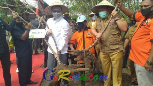 BRG Ubah Gambut Langganan Karhutla Jadi Lahan Ubi Kayu yang Menghasilkan Puluhan Juta Rupiah untuk Masyarakat Tempatan di Kampar