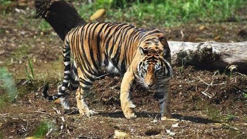 Harimau Sumatera Berkeliaran di Koto Kampar
