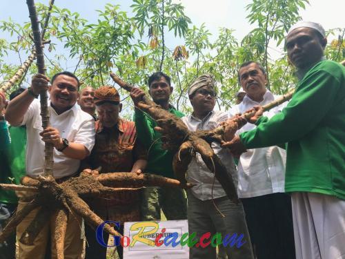 Ubi Kayu Racun Miliki Nilai Jual dan Mampu Membuat Lahan Gambut di Riau Tetap Basah