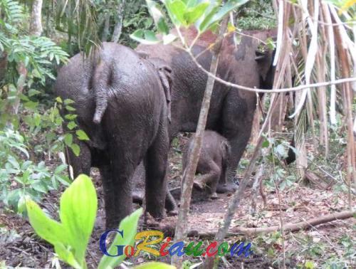 BBKSDA Riau : Populasi Gajah Liar Kantong Balairaja di Mandau Mengalami Peningkatan