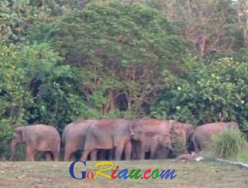 Hipam Duri : Gajah Liar Masih Diseputaran SMAN 4 Mandau, 2 Ekor Sakit