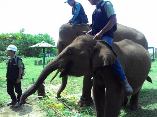 Upaya Selamatkan Konservasi Gajah Sumatera, RAPP Mitigasi Konflik Manusia dengan Gajah