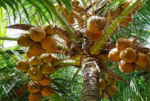 Pohon Kelapa, Pohon Sejuta Manfaat