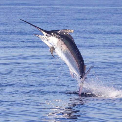 Ikan Ini Perenang Tercepat di Dunia, Bisa Kalahkan Kecepatan Mobil