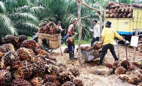 Sepekan Kedepan, Harga TBS Kelapa Sawit di Riau Turun Rp35,56 per Kilogram