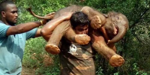 Mengagumkan, Seorang Pria Gendong Anak Gajah untuk Menyelamatkannya